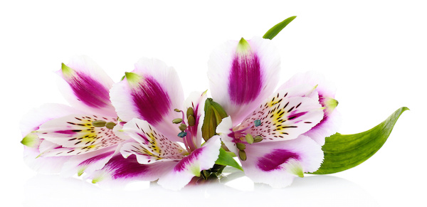 Alstroemeria flowers isolated on white